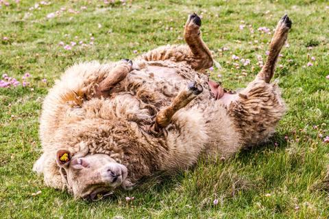 Festliegendes Schaf