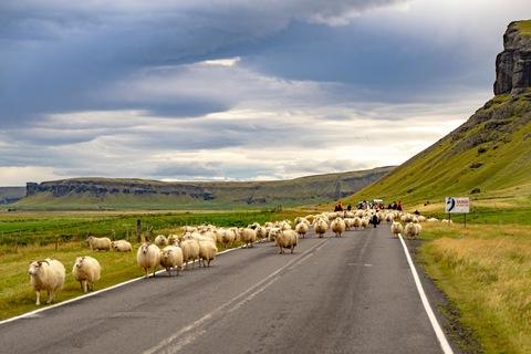Schafsabtrieb