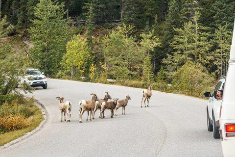 Dickhornschafe überqueren eine Straße im Nationalpark